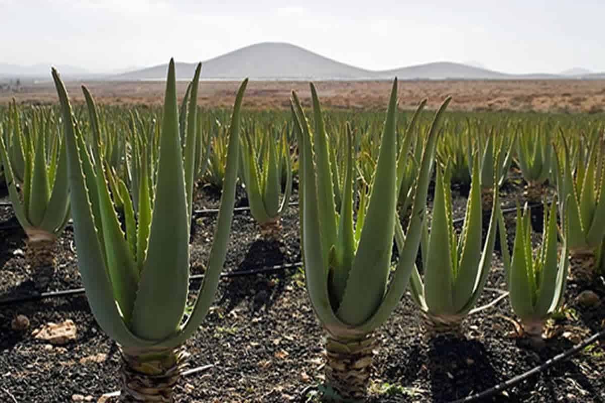 أشهر أسماء نباتات تعيش في الصحراء مجلة البرونزية