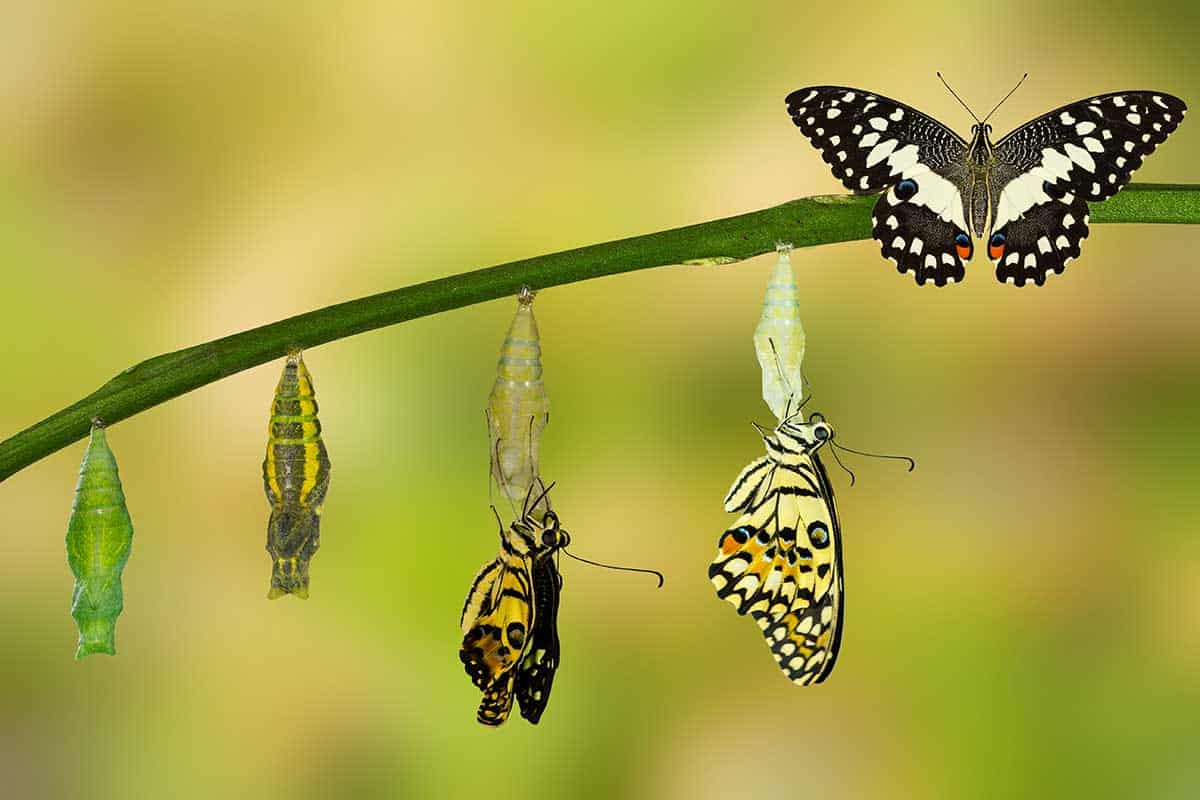 مراحل دورة حياة الفراشة ومدتها مجلة البرونزية