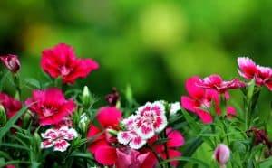 أزهار الربيع