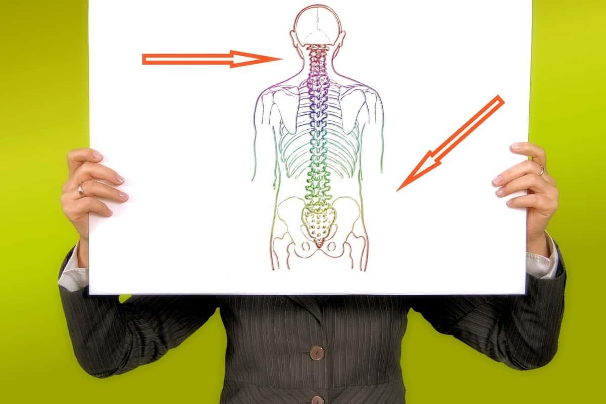 كم عدد فقرات العمود الفقري في جسم الانسان وطريقة تقسيمهم مجلة البرونزية