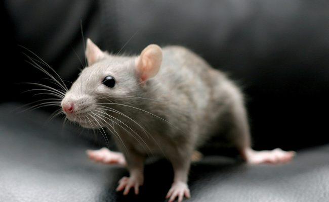 تفسير حلم الفئران الكثيرة